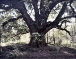 Old tree along the Rodney Road, Port Gibson, MS. 2012