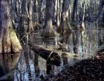 Cyprus Swamp near Canton, MS. 2012