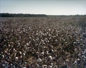 Cotton fields in the Mississippi Delta 2012
