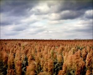 Fields of Sorghum at Antietam, Sharpsburg, Md. 2012