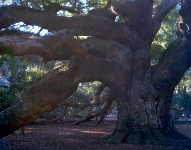 "The immense ""Angel Oak"" on Johns Island, SC 2013"