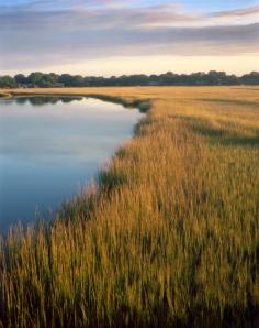 Cord grass along the James Island Creek, SC 2013