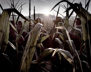 The sunrise illuminates reenactors in the infamous cornfield on the Battlefield at Antietam. Sept. 17th 2012 the 150th anniversary of the bloodiest day in American history