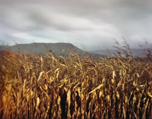Unharvested corn on the Valley Pike near Mount Jackson, Va 2014