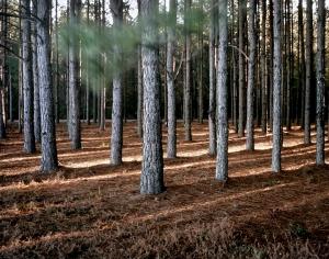 Pine forest in Ogeechee, Georgia 2014