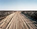 Cotton fields in Ogeechee, Ga 2014