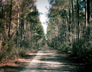 Pine forests in Guyton, Ga 2014