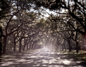 Live Oak drive at the Wormsloe Plantation