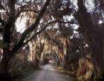 Spanish moss covered Live Oak Trees at Savannah Wildlife Refuge