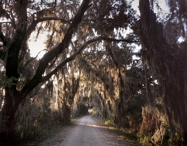 Spanish moss covered Live Oak trees at Savannah Wildlife Refuge 2014