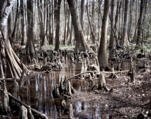 Cypress swamps at Congaree National Park