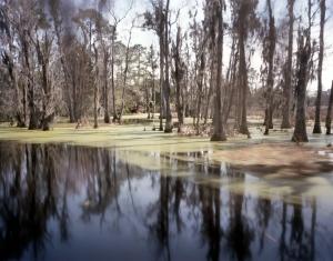 Carolina swamps at Magnolia Plantation